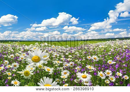 Spring Landscape With Flowering Flowers On Meadow. White Chamomile And Purple Bluebells Blossom On F