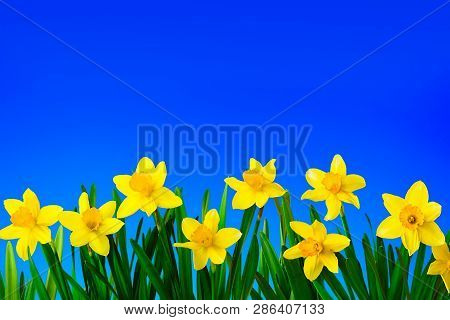 Nature Spring Background With Yellow Flowers Daffodils On Background Of Blue Sky. Spring Flowers Clo