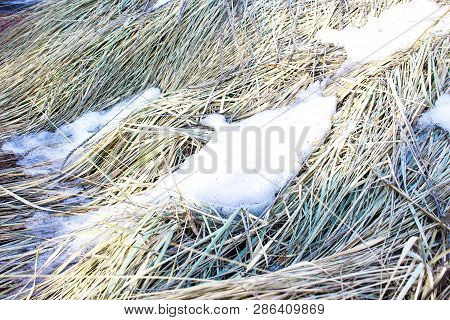 Natural View Of The Grass In Spring. Morning, Sunny Light In Grass With Snow. Snow Melts In The Dry