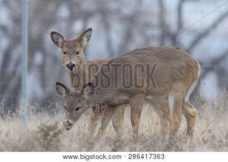 Wild Deer In The Colorado Great Outdoors
