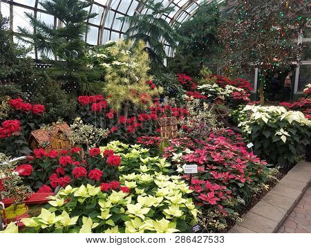 Chicago, Il November 25, 2018, Red And White Poinsettia Plants On Display For The Christmas Holiday