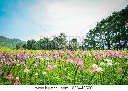 Beautiful Spider Flower Pink And White Blossom In The Flower Field Spring Colorful Garden - Cleome H