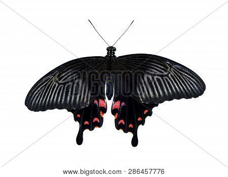 Tropical Butterfly Great Mormon (papilio Memnon) Isolated On A White Background. Large Swallowtail N