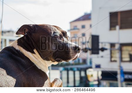 Big Beautiful Stafford Dog At Home, Sitting On Wondow And Looking On Street