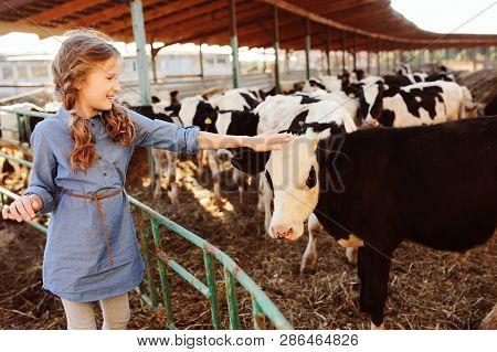 Kid Girl Feeding Calf On Cow Farm. Countryside, Rural Living, Agriculture Concept