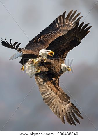 A Pair Of Bald Eagles Battle While Flying