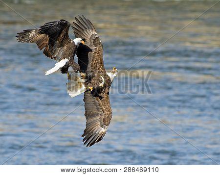 Pair Of Bald Eagle Battle In Flight