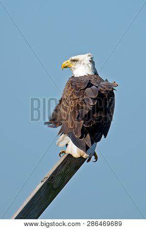 A Bald Eagle Sitting On A Post