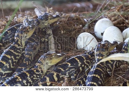 Newborn Alligator Near The Egg Laying In The Nest. Little Baby Crocodiles Are Hatching From Eggs. Ba