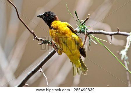 Vitelline Masked Weaver, Ploceus Vitellinus On A Perch. It Is A Species Of Bird In The Ploceidae Fam