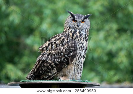 The Eurasian Eagle Owl, Bubo Bubo Is A Species Of Eagle-owl That Resides In Much Of Eurasia. It Is A