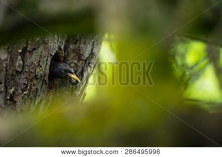 Sturnus Vulgaris. The Wild Nature Of The Czech Republic. Free Nature. Picture Of A Bird In Nature. B