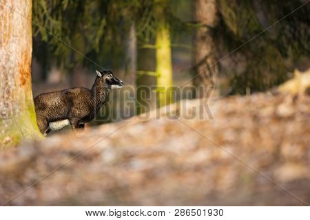 Ovis Musimon. The Wild Nature Of The Czech Republic. Free Nature. Picture Of Mammal In Nature. Beaut