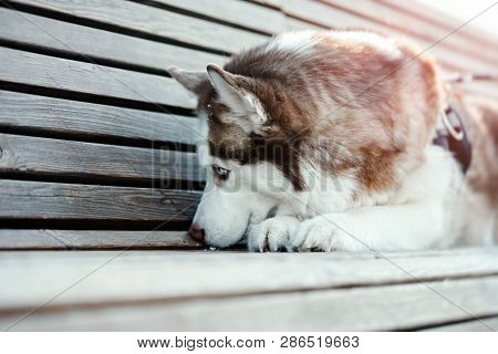 Portrait Of Sad Cute Siberian Husky Dog On A Walk. Dog Lost His Owner.