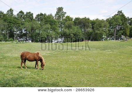 Icelandic horse in a sunny landscape in spring poster