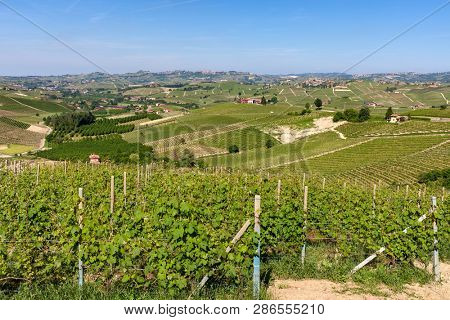 Green vineyards on the hills of Langhe area in Piedmont, Northern Italy.