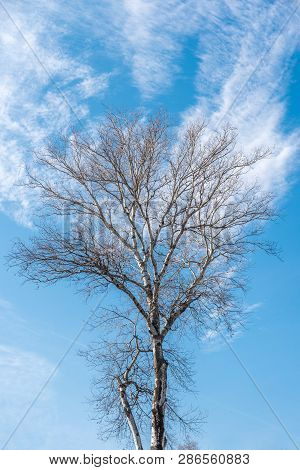 Birch Tree, Tall Birch Tree Treetop (plantae Magnoliophyta Magnoliopsida Fagales Betulaceae Betula)