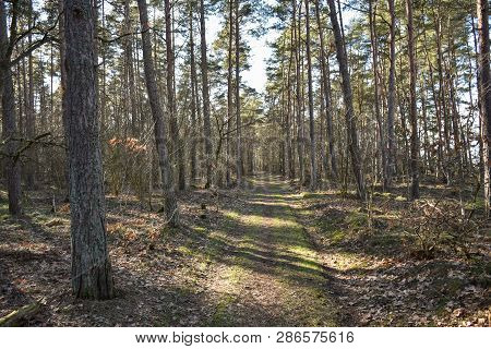 Springtime In The Pine Tree Forest With A Stright Footpath