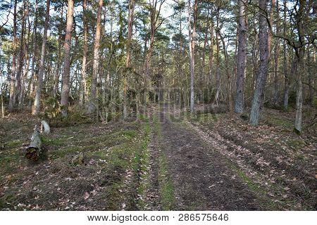 Footpath Through A Pine Tree Woodland By Springtime