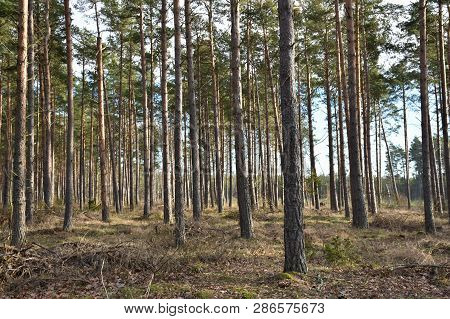 Bright And Beautiful  Pine Tree Forest By Springtime