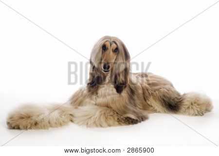 Beautiful Afghan Hound Lying On The Floor