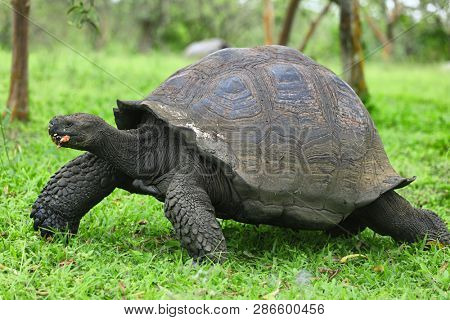 Galapagos giant tortoise walking in nature ranch after eating guava fruit (with crumbs on its mouth) on Santa Cruz Island in Galapagos Islands. Giant tortoises animals wildlife nature, Ecuador.