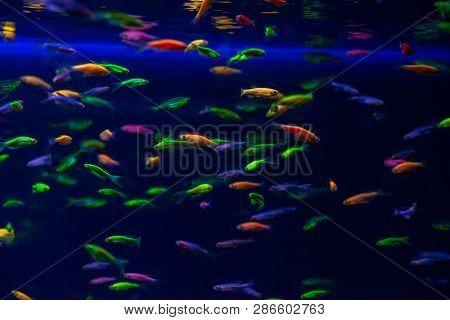 Nice Danio Glow Fish Freshwater Pets Aquarium River Mutation