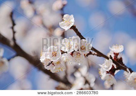 Flowering Branch Sakura Spring. Spring Pink Flowers. Floral Card Nature. Blossom Flowers. Natural La