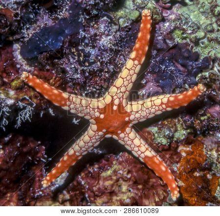 Klace Starfish On Coral Wall Off The Coast Of Palau