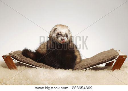 Pet and friend - standard color ferret portrait in studio poster