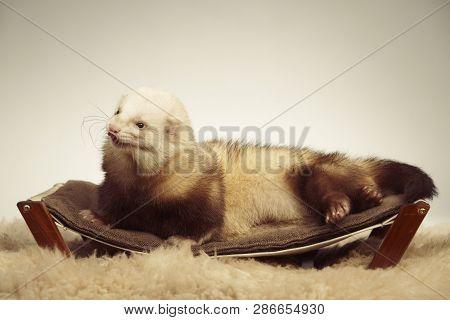 Cute ferret male relaxing on sofa in studio poster