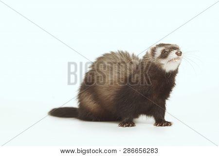 Pet and friend - Ferret portrait in studio poster