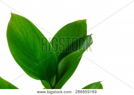 Waterplant Leaves On White Isolated Background For Green Foliage Backdrop