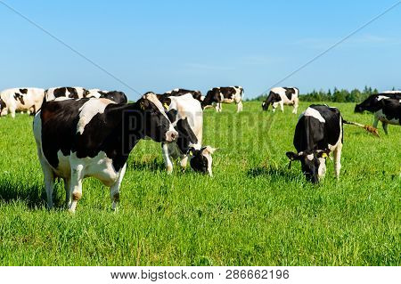 Cows Graze On A Green Field In Sunny Weather And Blue Sky, Layout With Space For Text Copy Space. Ca