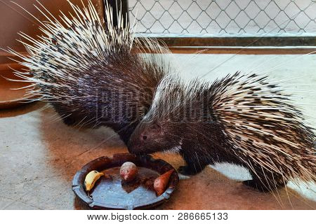 Porcupine Nocturnal Animals / Other Names Malayan Porcupine Large , Hystrix Brachyura