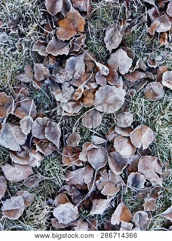 Autumn Leaves Covered With White Frost. Autumn November Nature Scene With Autumn Leaves On The Dry G