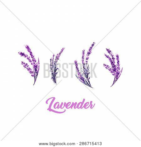 Watercolor Or Aquarelle Paintings Of Vector Lavender. Set Of Isolated Watercolour Lavandula Or Hand