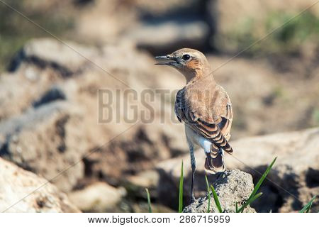 Portrait Of The Northern Wheatear (oenanthe Oenanthe).