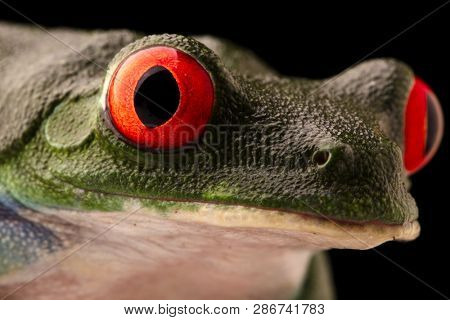 The vibrant eyes of a red eyed tree frog, Agalychnis callydrias. A beautiful night animal frogm the jungle of Costa Rica