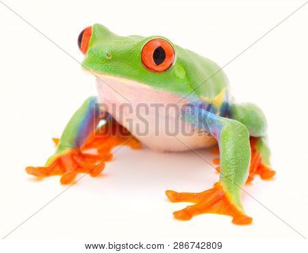Red eyed tree frog, Agalychnis callydrias. A tropical rain forest animal isolated on a white background.