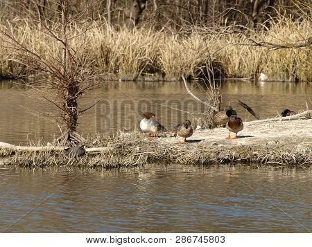 A Hooded Scaly-sided Merganser Gives A Female Mallard A Look In Question As She Stands On One Leg An