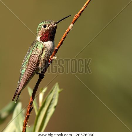 Broad-tailed Hummingbird Perched