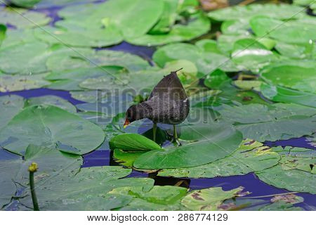 Gallinula Chloropus - Common Moorhen Walking Over The Leaves Of Water Lily And Looking For A Food
