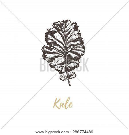Kale Vector Illustration. Kale Sketch Hand Drawing