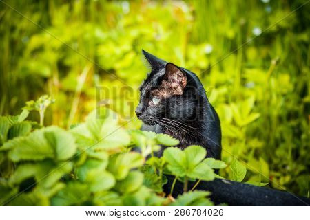 Black Cat In The Green Grass. Kitten Sitting In The Garden, Glade, Meadow.cute Black Cat Lying On Gr