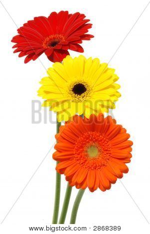 Gerber Daisy Flowers Isolated On White Background