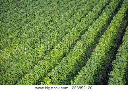 Vineyards At The Hills Of The River Moselle   In Summer With Fresh Grapes