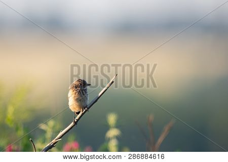 Northern Wheatear Or Oenanthe Oenanthe On Gound