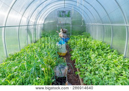 Inside Of Urban Green House. Growing Organic Vegetables. Urban F