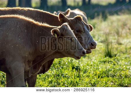 Dairy Cows Pasture In Green Meadow In Latvia. Herd Of Cows Grazing In Meadow. Cows In Meadow In Summ